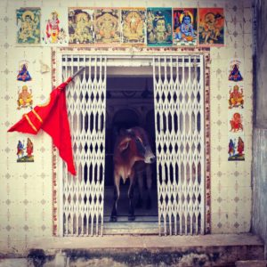 cow-at-temple-india