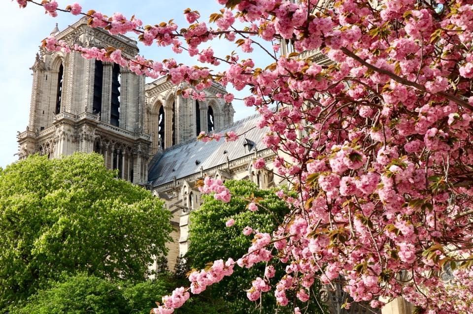 Notre-Dame-Cherry-Blossom