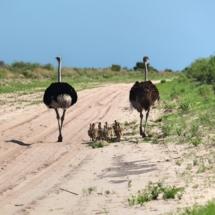 Leopard Plains Nxai Pans ostriches 2 c. Joshua Heise