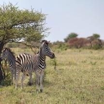 Leopard Plains Nxai Pans zebras 2 c. Joshua Heise