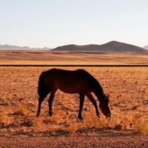 Wild horse Namibia